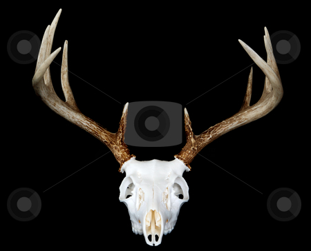 European Deer Mount Head On stock photo, A head on view of a european deer mount by David Schliepp