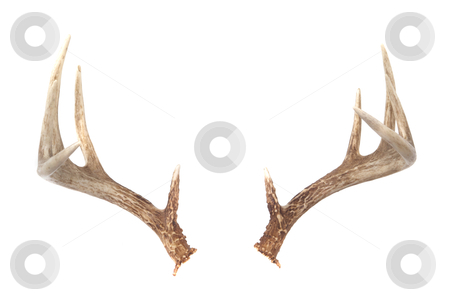 Whitetail Deer Antlers stock photo, Isolated Whitetail Deer Antlers Isolated on white ready to put on any animal you like! by David Schliepp