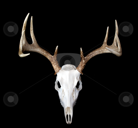 European Deer Mount Top View stock photo, A top view of a european deer mount by David Schliepp