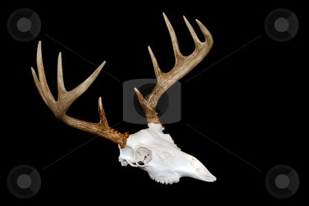 European Deer Mount Angled stock photo, An angled view of a european deer mount by David Schliepp