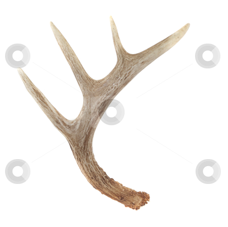 Side View of Whitetail Deer Antlers stock photo, Side View of Whitetail Deer Antlers Isolated on White by David Schliepp