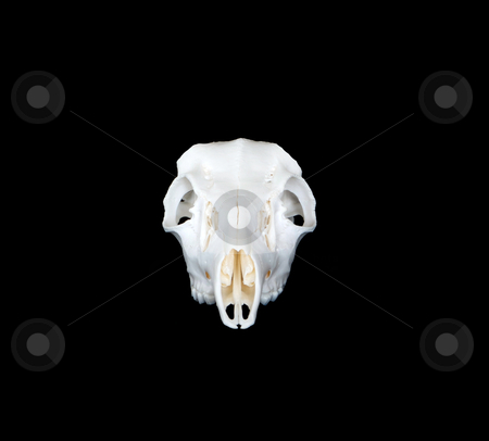 Deer Skull Head On stock photo, A head on view of whitetail or mule deer skull by David Schliepp