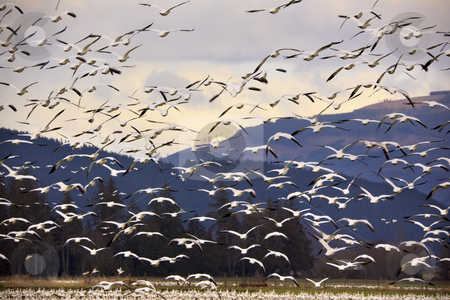 Thousands of Snow Geese Flying and Taking Off stock photo, Thousands of Snow Geese Flying Across Mountain  Black dots in background are not sensor spots by the black wings of snow geese in the distance by William Perry