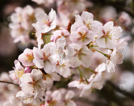 Pink Cherry Blossoms Flowers Spring in Washington stock photo, Pink Cherry Blossoms Flowers Blooming Orchard Spring in Washington  by William Perry