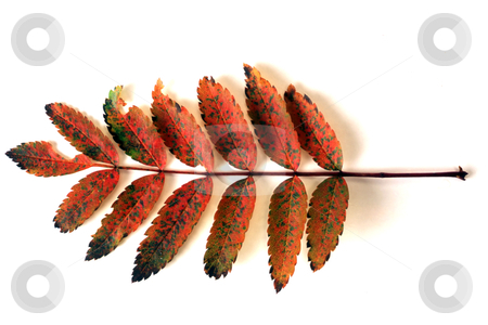 Red leaves stock photo, Beautiful red leaves isolated on white background by Ingvar Bjork