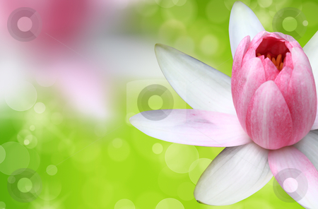 Pink water lily with lotus  stock photo, pink water lily with lotus by rufous