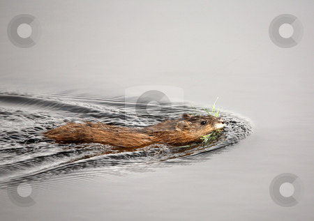 Muskrat swimming in a Saskatchewan roadside pond stock photo, Muskrat or Musquash (Ondatra zibethicus) the only species in genus Ondatra, is a large aquatic rodent native to North America, and introduced in parts of Europe.  by Mark Duffy