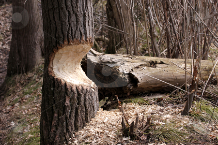 Beaver Damaged Tree stock photo, A tree on the verge of falling after being eaten away at by a beaver. by Chris Hill