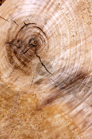 Tree Cross Section stock photo, A close-up of the cross section of a tree, displaying annual rings.  by Chris Hill