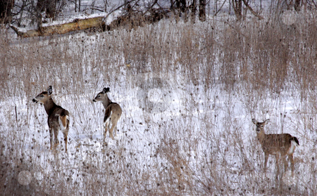 Family of Deer stock photo, Three white-tailed deer (Odocoileus virginianus) in a snow covered field, in Ontario, Canada.  by Chris Hill