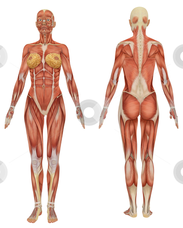 Front and Rear View of the Female Muscular Anatomy stock photo, A front and rear view of the female muscular anatomy, isolated on a solid white background. Very educational. by Randall Reed