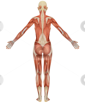 Rear View of the Female Muscular Anatomy stock photo, Rear view of the female muscular anatomy, isolated on a solid white background. Very educational. by Randall Reed