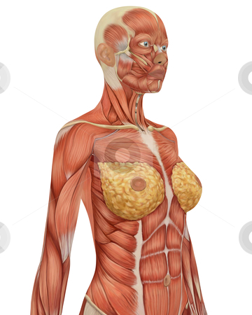 Angled View of Upper Body of the Female Muscular Anatomy stock photo, Close up angled view of the female muscular anatomy, isolated on a solid white background. Very educational. by Randall Reed