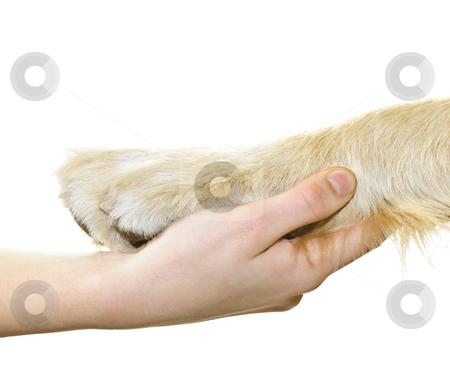 Human hand holding dog paw stock photo, Human hand holding dog paw isolated on white background by Elena Elisseeva