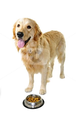 Golden retriever dog with food dish stock photo, Golden retriever pet dog standing at food dish isolated on white background by Elena Elisseeva