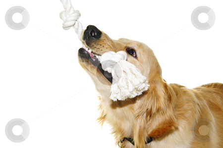 Golden retriever dog biting rope toy stock photo, Playful golden retriever pet dog biting rope toy isolated on white background by Elena Elisseeva