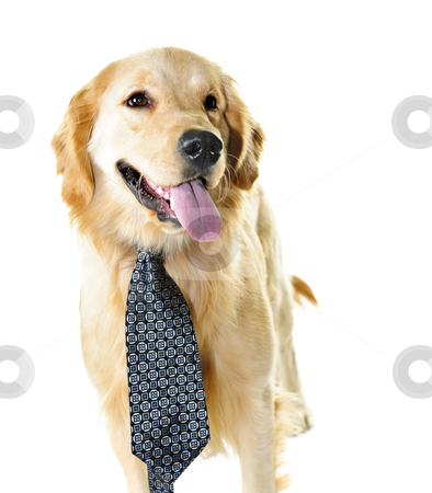 Golden retriever dog wearing a tie stock photo, Funny golden retriever dog wearing tie isolated on white background by Elena Elisseeva