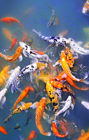 Koi fish in pond stock photo, Colorful koi fish at surface of pond by Elena Elisseeva