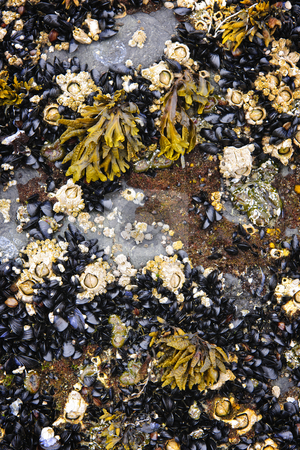 Mussels and barnacles at low tide stock photo, Mussels and barnacles at low tide on sea floor in Pacific coast of Canada by Elena Elisseeva