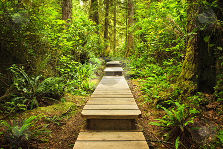 Path in temperate rainforest stock photo, Wooden path through temperate rain forest. Pacific Rim National Park, British Columbia Canada by Elena Elisseeva