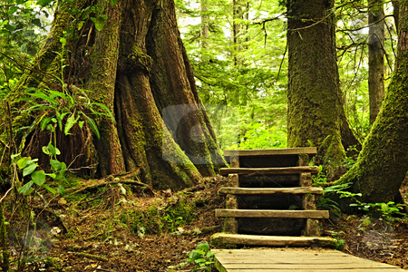 Path in temperate rainforest stock photo, Path through temperate rain forest. Pacific Rim National Park, British Columbia Canada by Elena Elisseeva