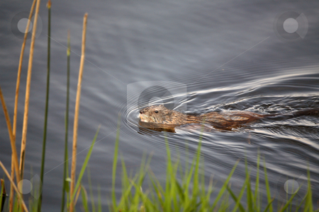 Muskrat swimming in Saskatchewan pothole stock photo, Muskrat or Musquash (Ondatra zibethicus) the only species in genus Ondatra, is a large aquatic rodent native to North America, and introduced in parts of Europe. by Mark Duffy