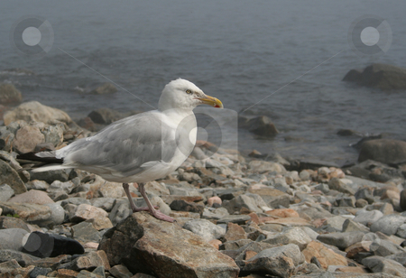 American Herring Gull stock photo, An American Herring Gull (Larus smithsonianus), shot in Acadia National Park, in Maine, USA.  by Chris Hill