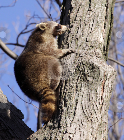 Sniffing Raccoon stock photo, A raccoon (Procyon lotor) sniffing a tree as it climbs it.  by Chris Hill