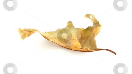 Dry leaf lip isolated  stock photo, dry leaf lip isolated by rufous