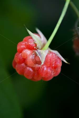 Organic ripe Raspberry stock photo, Close up of a single ripe Raspberry hanging from its plant with dark outdoor background by Samantha Craddock