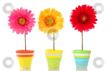 Happy flowers stock photo, happy spring flowers isolated on white background                                     by Gunnar Pippel