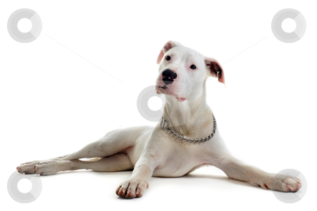 Puppy dogo argentino stock photo, portrait of a purebred puppy argentinian dog in front of white background by Bonzami Emmanuelle
