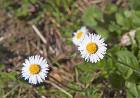 Daisies stock photo, Two little daisies in the grass of a garden by Fabio Alcini