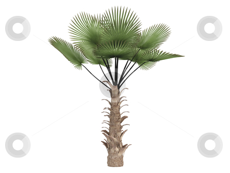Windmill palm or Trachycarpus fortunei stock photo, Windmill palm or latin Trachycarpus fortunei isolated on white background by Nmorozova