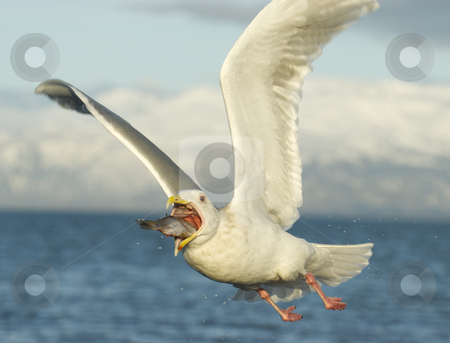 Glaucous Gull, Larus hyperboreus stock photo, Glaucous Gull, Larus hyperboreus, flying with fish in mouth and blue sky and clouds in background by visceralimage