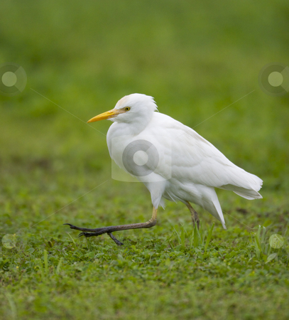 Cattle Egret, Bubulcus ibis stock photo, Cattle Egret, Bubulcus ibis, walking with one leg extended, on green grass by visceralimage