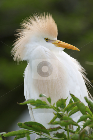 Cattle Egret, Bubulcus ibis stock photo, Cattle Egret, Bubulcus ibis, with breeding colors on nest with green background by visceralimage
