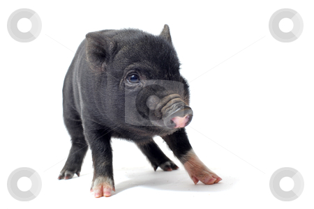 Liitle piggy stock photo, little black piggy in front of white background by Bonzami Emmanuelle