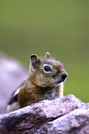 Golden Mantled Ground Squirrel stock photo, Golden Mantled Ground Squirrel resting on a rock by Bonnie Fink