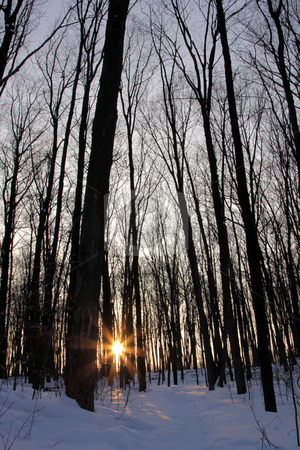 Tall Tree Silhouettes at Dusk stock photo, A winter trail lit by the setting sun.  by Chris Hill