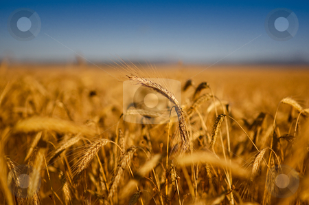 Wheat field stock photo, Beautiful landscape image of a wheat field by ikostudio