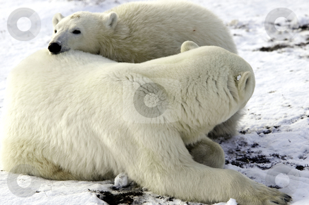 Mother and cub polar bear stock photo, A mother and cub polar bear taking a nap together by Bonnie Fink