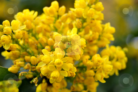Yellow flowers stock photo, fragrant yellow flowers in spring by freeteo