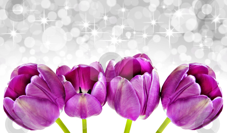 Spring background of pink tulips on white with space for text stock photo, Spring background of pink tulips on white with space for text by tish1