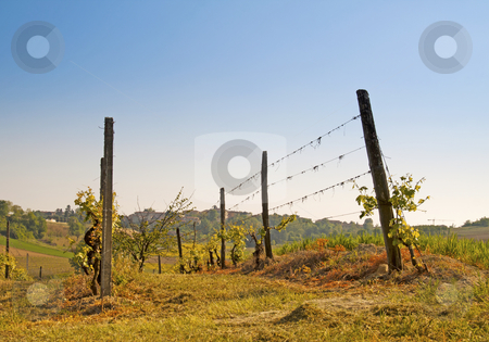 Vineyard stock photo, Green and gorgeous vineyard with blue sky by Fabio Alcini