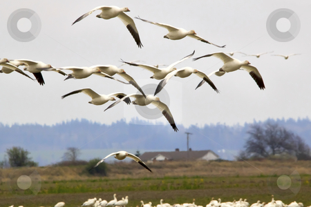 Snow Geese Flying Skagit County Washington stock photo, Snow Geese Flying Over Countryside Close Up  Skagit County Washington by William Perry