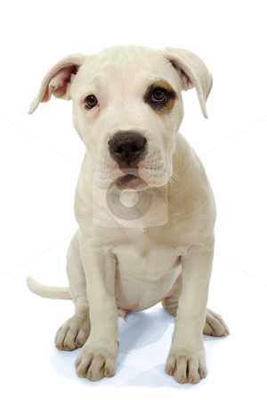 Puppy stock photo, Sweet puppy is sitting on a white background by Lars Christensen
