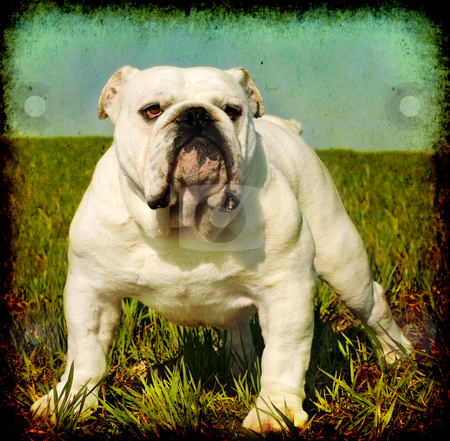 Vintage English bulldog stock photo, Textured vintage look portrait of white male english bulldog standing in the grass by borojoint