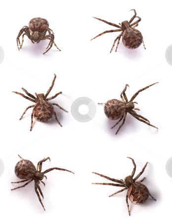 Brown spiders stock photo, Six yellow spiders on a white background by Alexey Romanov
