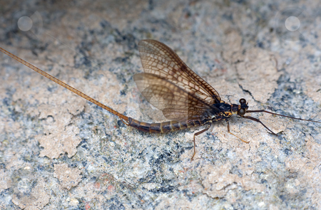 Day-fly stock photo, day-fly sitting on a coastal stone by Alexey Romanov
